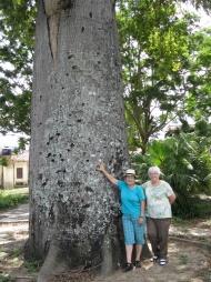 La Ceiba de Alma Flor, Cuba